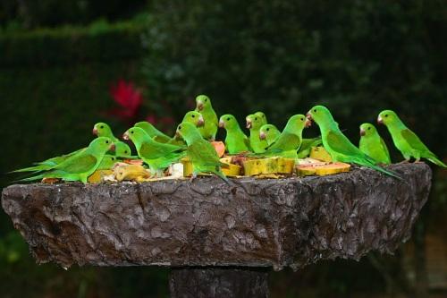 Piriquitos - Foto: Foco na Natureza - Todos os direitos reservados