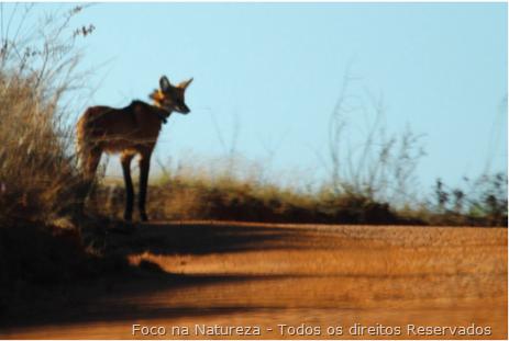 Lobo-Guará - Foto: Foco na Natureza - Todos os direitos reservados