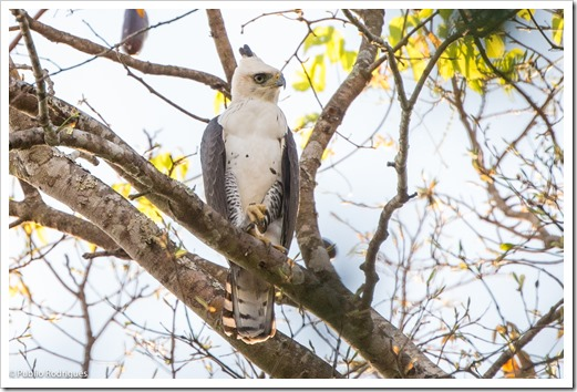 Gavião-de-penacho / Ornate Hawk-eagle / Spizaetus ornatus